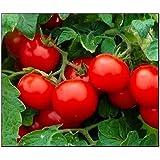 250 Cherry Tomato Seeds Large   Non-GMO   Fresh Garden Seeds