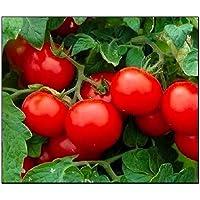 250 Cherry Tomato Seeds Large | Non-GMO | Fresh Garden Seeds