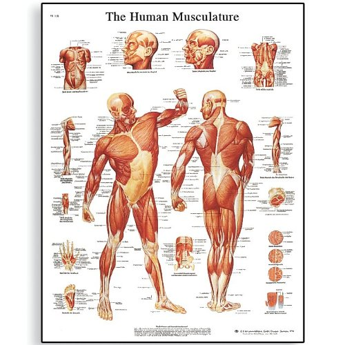 3B Scientific VR1118UU Glossy Paper Human Muscle Anatomical Chart, Poster Size 20