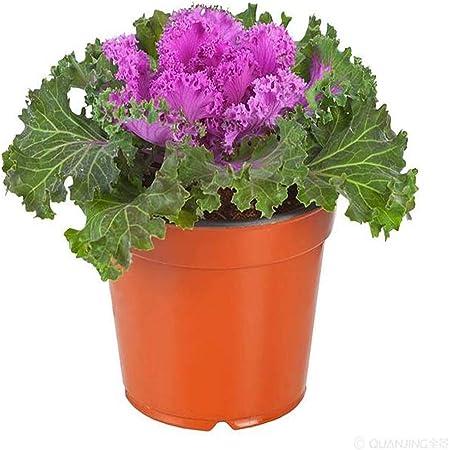 Amazon Com Ornamental Cabbage Flowering Kale Brassica Oleracea