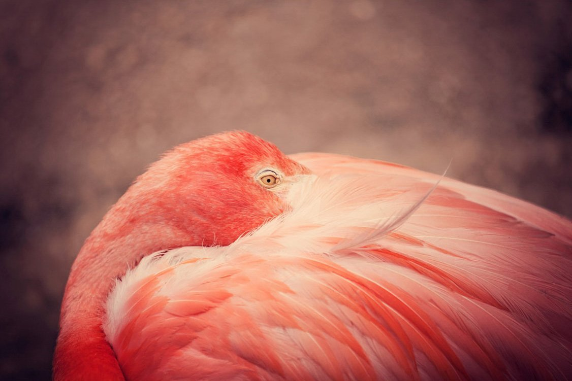 The Resting Flamingo Fine Art Photography Print Bird Photo Pink Coral Home Decor Feathers Nature Animal Photograph