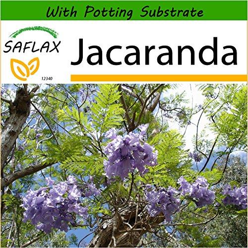 SAFLAX - Jacaranda - 50 Seeds - with Soil - Jacaranda mimosifolia (Tropical Tree With Fernlike Leaves And Purple Flowers)