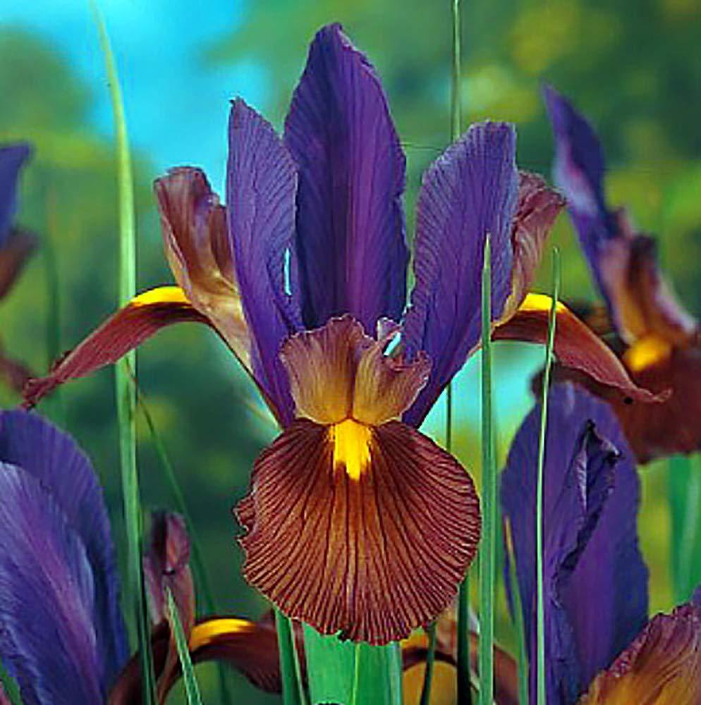 Eye of the Tiger Dutch Iris 20 Bulbs - Multiply Rapidly - 8/9 cm Bulbs