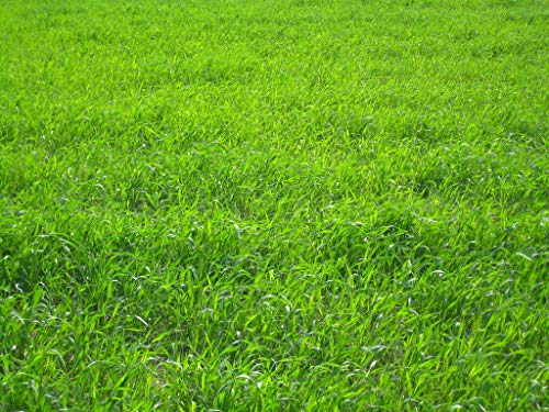 Nature's Seed TURF-LOPE-2000-F Perennial Ryegrass Seed Blend, 2000 sq. ft. (The Best Grass Seed To Use)