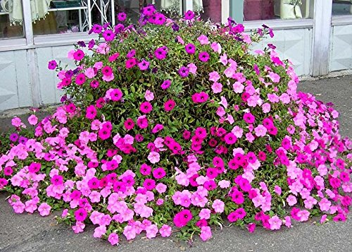 Old Fashioned Petunia Mix 100+ Seeds Vining White, Red, Pink, Blue Shades ()