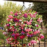 American Jumbo Flowered Trailing Fuchsia Collection Plug plants (Pack of 12)
