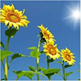 Riesen-Sonnenblume - bis 4 Meter - Wolkenkratzer - Sky Scraper - 20 Samen