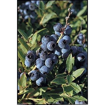 300 Lowbush Blueberry Seeds, Vaccinium angustifolium, Fruit is high in antioxidants ! : Garden & Outdoor