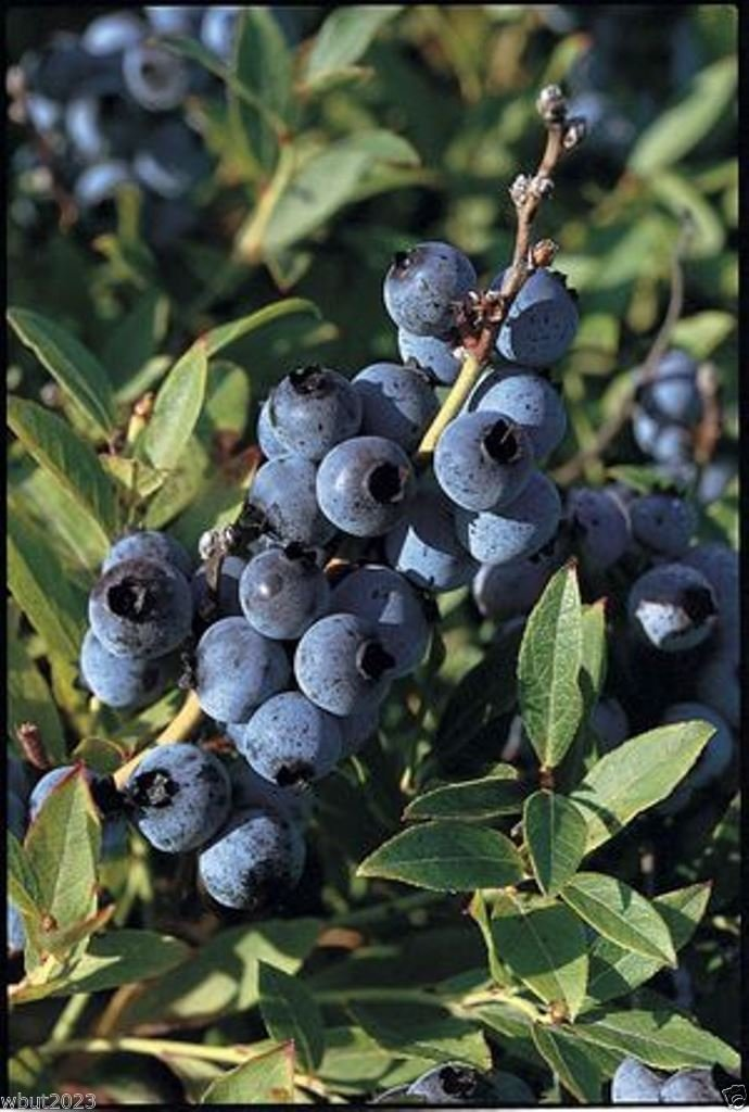 Fruit is high in antioxidants ! 300 Lowbush Blueberry Seeds,Vaccinium angustifolium