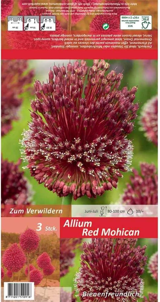 Garten Blumen Schnittblumen Zwiebelblumen Bienen Insekten Hummeln Florado 3x Zierlauch Blumenzwiebeln `Red Mohican` Gr/ö/ße 10//+