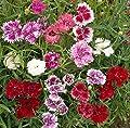 David's Garden Seeds Flower Dianthus Chinese Pinks SL8371 (Multi) 500 Non-GMO, Heirloom Seeds