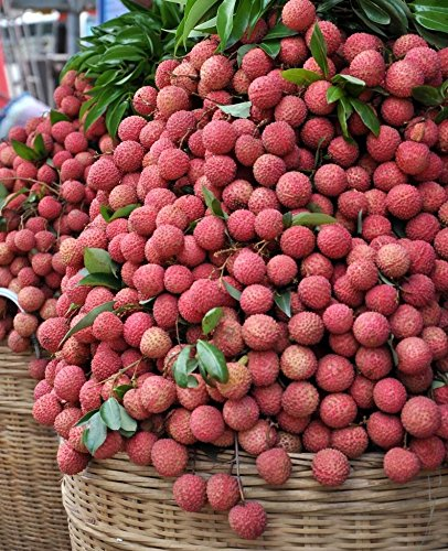 Lychee Fruit Seeds, Fresh Litchi Seeds, Lychee Seed (10 Seeds) (Lychee Plant)