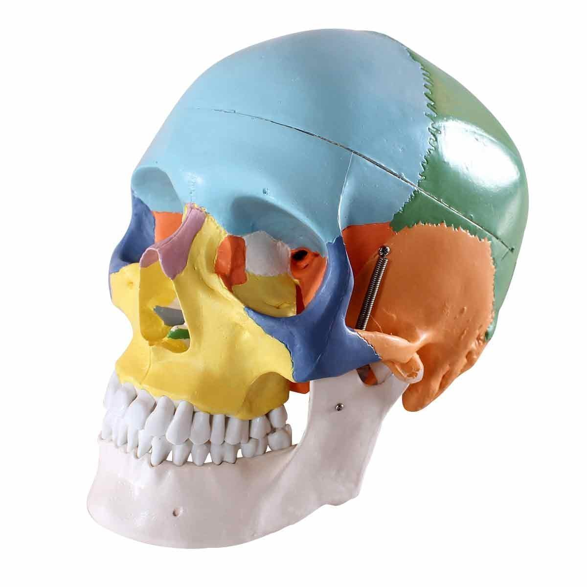 Human 1:1 Size Skull with Colored Bone Joint Simulation Model ...