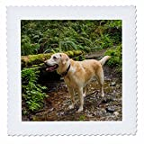 3dRose Danita Delimont - Dogs - Washington, Issaquah. Yellow Labrador in the woods at Tiger Mountain. - 20x20 inch quilt square (qs_279723_8)
