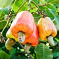 Cashew Nut Apple, Anacardium Occidentale, Rare Tropical Plant Tree 10 Seeds