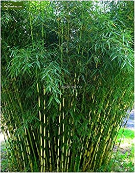 2017 New Sale 50pcs Moso Bamboo Seeds Phyllostachys Pubescens Giant Mao  Bamboo Plants For Jardin * Garden Bonsai Tree Sementes   Orange