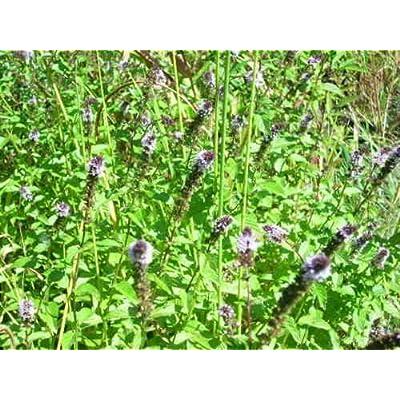 40 WATER MINT SEEDS ( Mentha aquatica ) : Garden & Outdoor