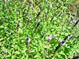 40 WATER MINT SEEDS ( Mentha aquatica )