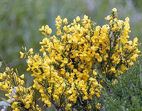 (Scotch Gypsy Broom Perennial 50 Seeds - Cytisus)