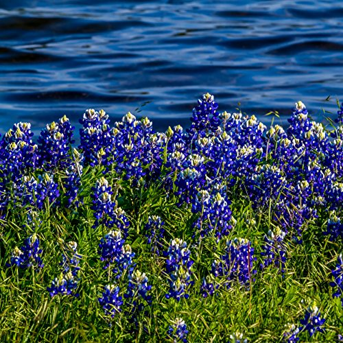 Outsidepride Texas Bluebonnet Wildflowers Seed - 1 LB by Outsidepride (Image #3)