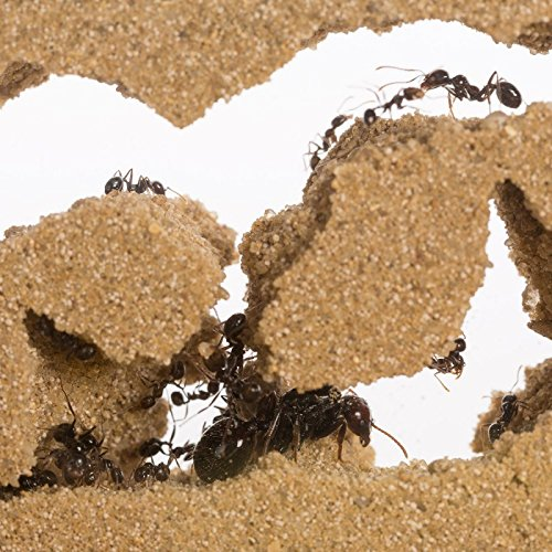Sand Ant Farm T (Anthill, Formicarium, Educational, Ants) by anthouse (Image #3)