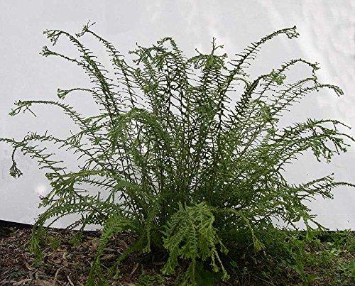 Athyrium filix-femina Victoriae hardy garden fern 9cm pot FREE POSTAGE