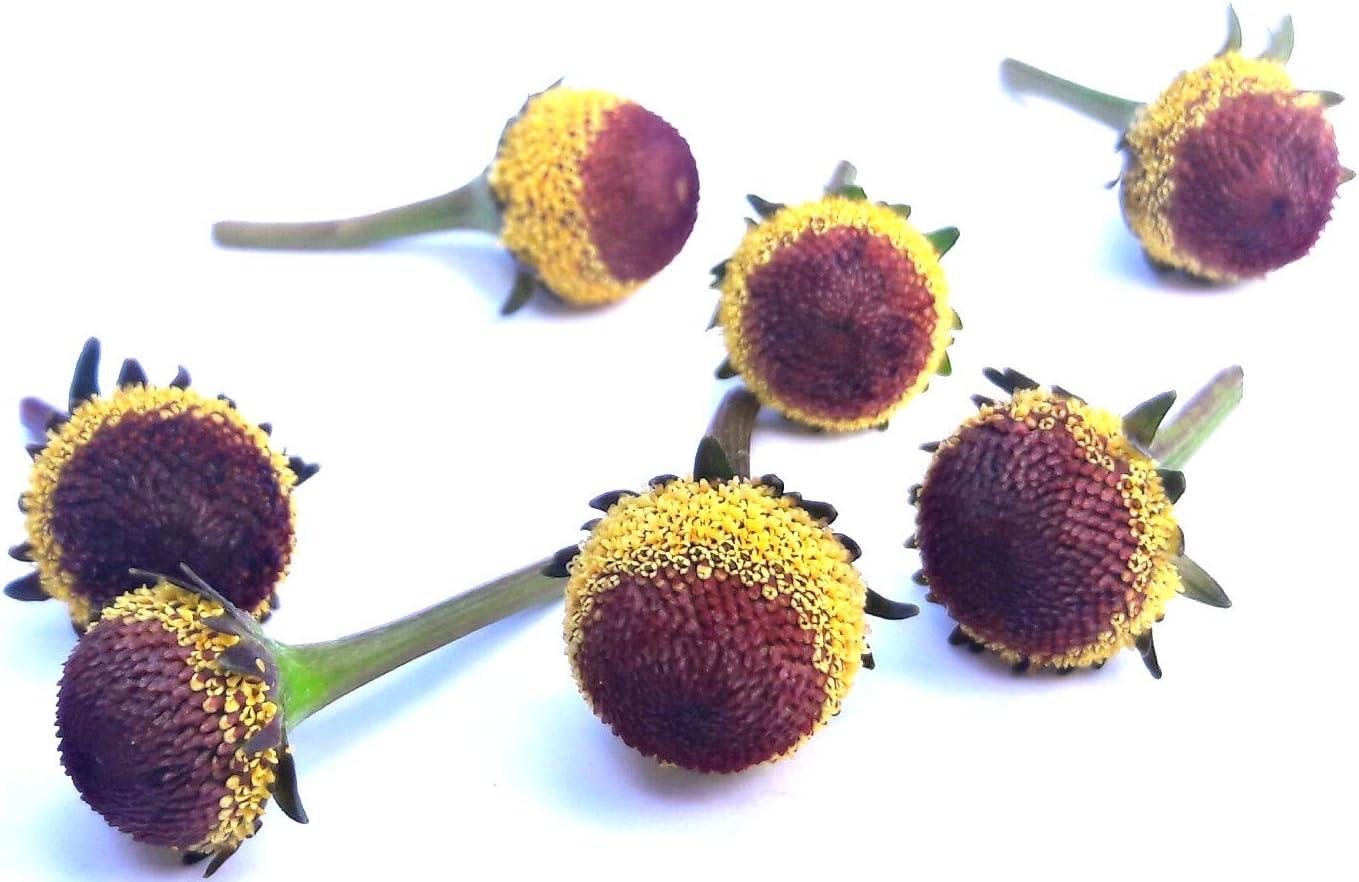 Acmella oleracea (Buzz Buttons) Szechuan Buttons : 60+ Individual