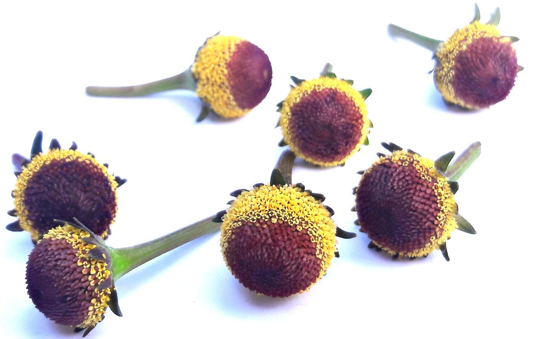 Acmella oleracea (Buzz buttons) Szechuan buttons : 60 individual''FRESH EDIBLE'' flowers.