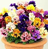 "Flower seeds Pansy, Giant Viola ""Terry Rococo MIX""(Viola x Wittrockiana) Violet."