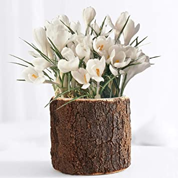Amazon.com : ProFlowers - White Snow Day Bulb Garden ... on colorful house plants, non-toxic house plants, small house plants, soothing house plants, robust house plants, weather proof house plants, hypoallergenic house plants, fragrant house plants, lightweight house plants, compact house plants, organic house plants, portable house plants, rugged house plants, elegant house plants, night blooming house plants, refreshing house plants, cool looking house plants, inexpensive house plants, strong house plants, easy to maintain house plants,