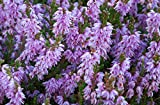 HEIRLOOM NON GMO Scotch Heather (Calluna Vulgaris) 25 seeds