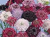 David's Garden Seeds Flower Scabiosa Olympia SL9382 (Multi) 50 Non-GMO, Heirloom Seeds