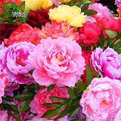 forte Fragrant Belle Fleur Bush pour Balcon Jardin Pack 5Seeds Rare bleu fonc/é fleur de pivoine plante chinoise Graines Seedling