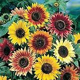 All Sorts Mix Sunflowers, 25+ (25-50) Premium Heirloom Seeds, ON SALE!, (Isla's Garden Seeds), 99.38% Purity, 90% Germination, Highest Quality!