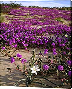"CA, Anza-Borrego Desert Lily and Sand Verbena by Christopher Talbot Frank - 12""x14"" Gallery Wrapped Giclee Canvas Art Print - Ready to Hang"