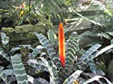 Vriesea splendens: flaming sword