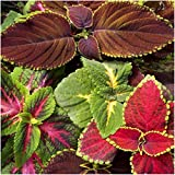 Package of 800 Seeds, Rainbow Mixed Coleus (Coleus blumei) Open Pollinated Seeds by Seed Needs