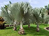 5 PCS Silver BISMARCH BISMARCKIA BISMARK Bismarck Palm Tree Seeds