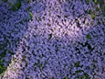 Thyme Creeping Red aromatic leaves pi...