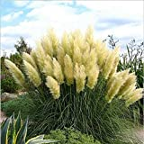 KAYI Yelllow Pampas Grass Seeds Rare Impressive Ornamental Colorful Feather House Garden