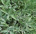 Heirloom Herbs BROADLEAF SAGE 100 SEEDS Salvia officinalis CULINARY