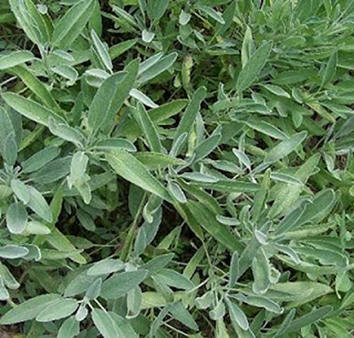 Heirloom Herbs BROADLEAF SAGE 100 SEEDS Salvia officinalis - Sage Broadleaf