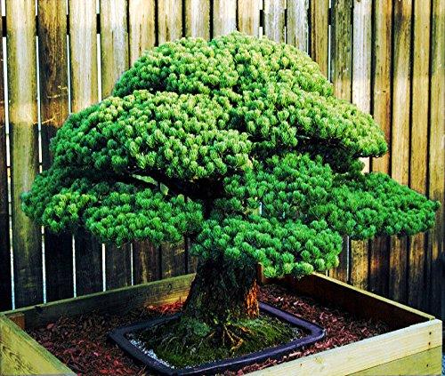 Japanese White Spruce Pine, Picea, Tree Seeds Bonsai Evergreen ()