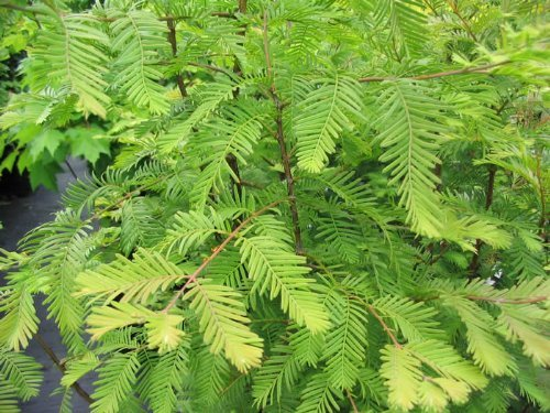 Bald Cypress 3 - Year Seedling (Bald Bonsai Cypress)