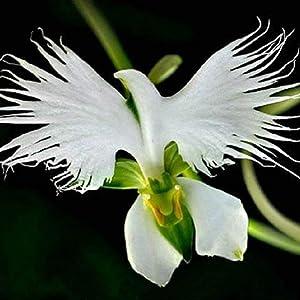 World's Rare Flower Japanese Radiata Seeds for Garden & Home Planting White Dove Orchids Seeds, 100seeds/bag