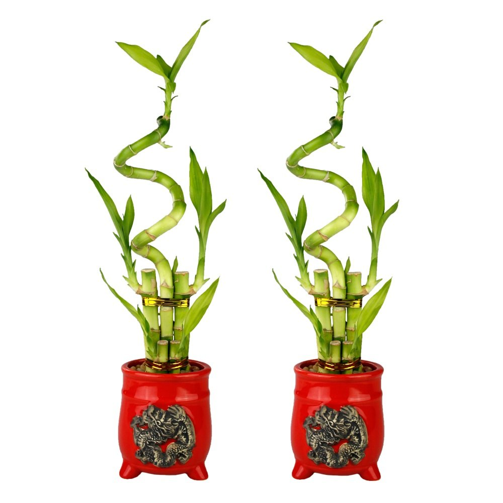 Set of Lucky Bamboo Five Stalk with Spiral Arrangements with Red Ceramic Dragon Design Standing Planters (Set of 2)