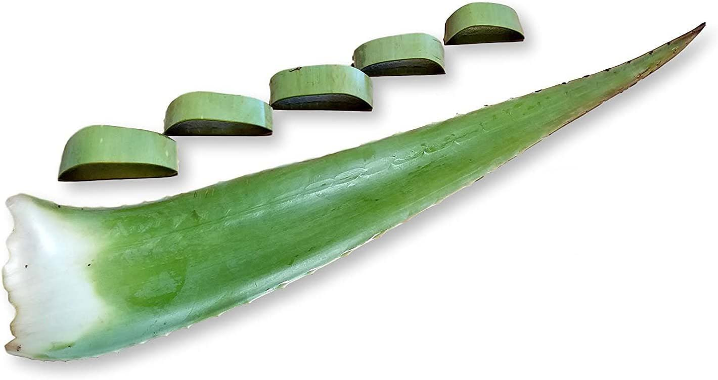 3 Pounds Organic Extra Large Aloe Vera Barbadensis Green Leaves