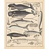 Vintage Poster Print Wall Art Decor Whales Evolution Process History Illustrations Biology Science