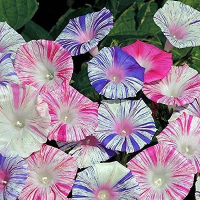 Morning Glory 'Harlequin Mix' (Ipomoea purpurea) Flower Plant Heirloom, 20 Seeds : Garden & Outdoor