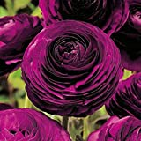 Purple Persian Buttercup 10 Bulbs 6/7cm - Ranunculus Telecote - Hardy
